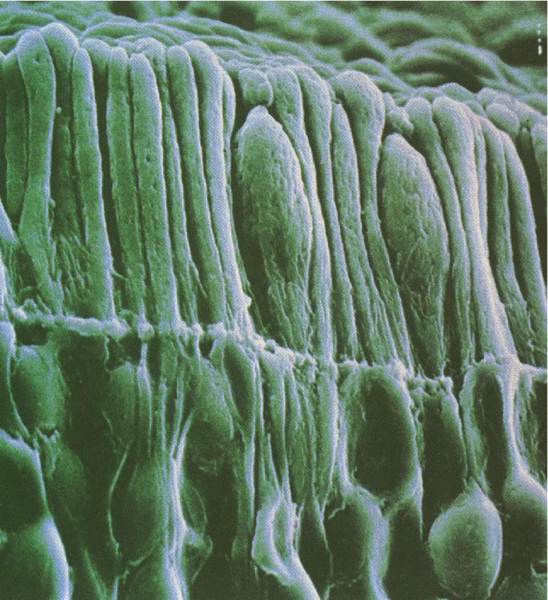 Bastons (llargs i prims) i cons (més arrodonits) d'una retina humana