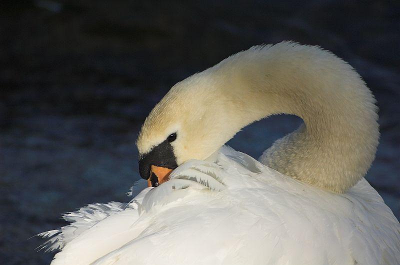 Cigne a Djurgarden - Cisne en Djurgarden