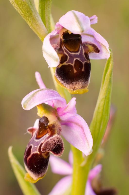 Ophrys Scolopax, la Mussara, Baix Camp