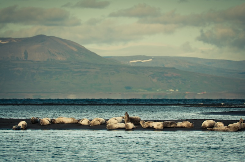 Colònia de foques a Ósar, Islàndia - Colonia de focas en Ósar, Islandia.