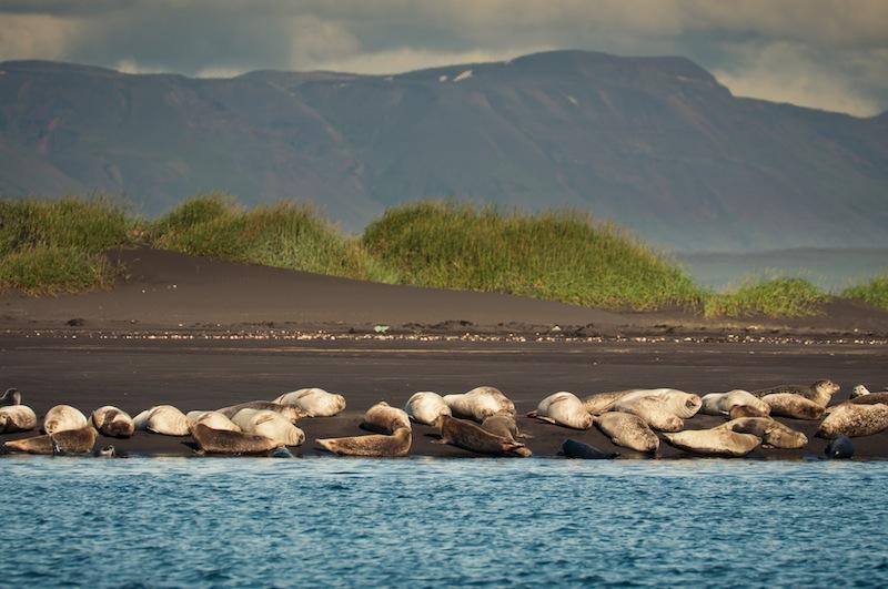 Foca comú a Ósar, Islàndia - Foca común en Ósar, Islandia.