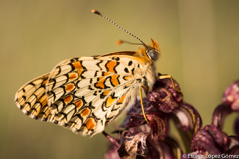 Papallona sobre de Orchis Purpurea, la Mussara. Mariposa encima de Orchis Purpurea, la Mussara.